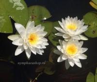 Нимфея Odorata Alba (купить кувшинку, водяную лилию Одората Альба)