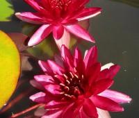 Нимфея Perry's Red Blaze (купить кувшинку, водяную лилию Перрис Ред Блэйз)