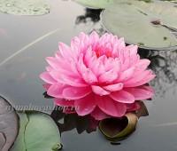Нимфея Pink Pom Pom (купить кувшинку, водяную лилию Пинк Пом Пом).