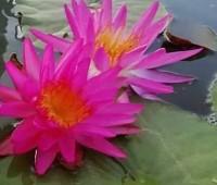Нимфея Pink Silk (купить кувшинку, водяную лилию Розовый шелк)