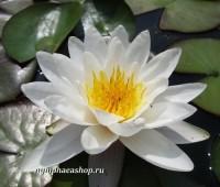 Нимфея Postlinberg (купить кувшинку, водяную лилию Пестлингберг)