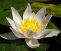 Нимфея Pygmaea Alba (купить кувшинку, водяную лилию Пигмея Альба).