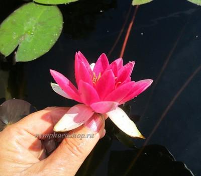 Нимфея Pygmaea Rubra (купить кувшинку, водяную лилию Пигмея Рубра)