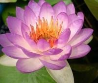 Нимфея Queen Sirikit (купить кувшинку, водяную лилию Квин Сирикит )