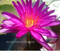Нимфея Purple Fantasy (купить кувшинку, водяную лилию Пурпл Фэнтази, Пурпурная Фантазия)