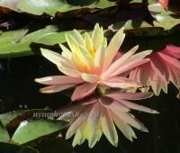 Нимфея Sunny Pink  (купить кувшинку, водяную лилию Санни Пинк)