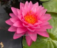 Нимфея Tan Khwan (купить кувшинку, водяную лилию Тан Кван)