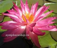 Нимфея Tropic Star (купить кувшинку, водяную лилию Тропик Стар )