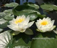 Нимфея Tuberosa Maxima (купить кувшинку, водяную лилию Тубероза Максима)