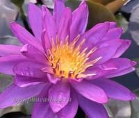 Нимфея Violicious (купить кувшинку, водяную лилию Виолишис)