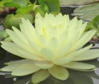Нимфея Yellow Sensation (купить кувшинку, водяную лилию Елоу Сэнсэйшн)