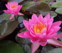 Нимфея Yuh Ling (купить кувшинку, водяную лилию Юх Линг)