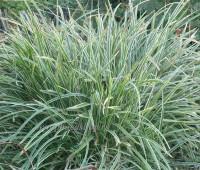 Осока Морроу «Айс Данс»  (купить Carex morrowi «Ice Dance»)