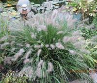Пеннисетум лисохвостный  (купить Pennisetum alopecuroides)