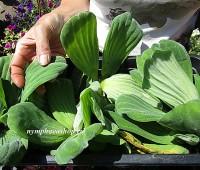 Пистия телорезовидная или водяной латук (купить Pistia stratiotes)