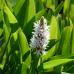 Понтедерия сердцелистная  Alba (купить Pontederia cordataAlba )