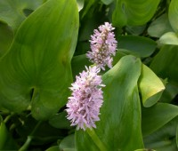 Понтедерия сердцелистная  Pink Pons (купить Pontederia cordata Pink Pons)
