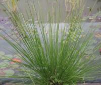 Ситник развесистый (купить Juncus effusus )