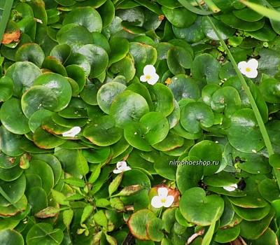 Водокрас обыкновенный  (купить Hydrocharis morsus-ranae)